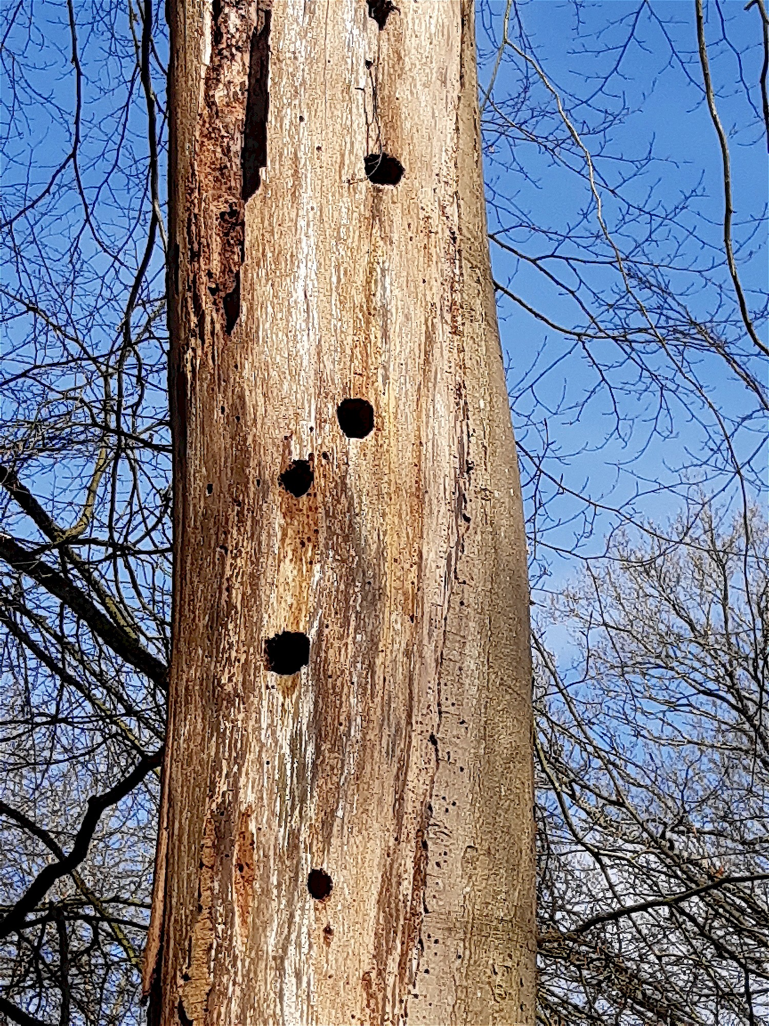 How Much Wood Would A Woodpecker Peck